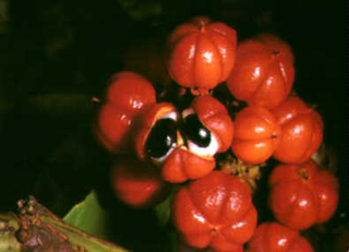 Guaraná berries