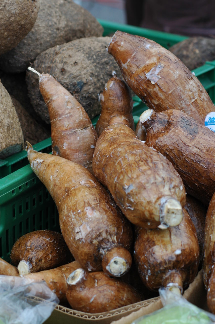 manioc roots